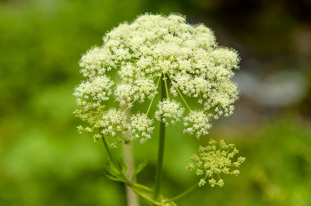 water-hemlock-dogs