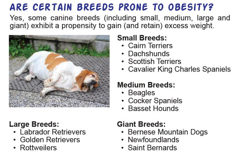 dog-breeds-prone-to-obesity
