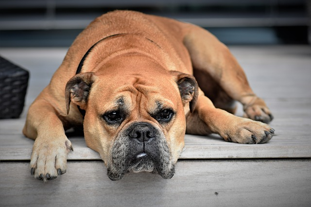 Turmeric can help your aging dog