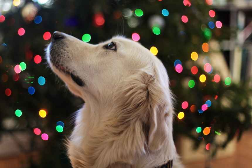 Protect Your Dog from These Christmas Risks