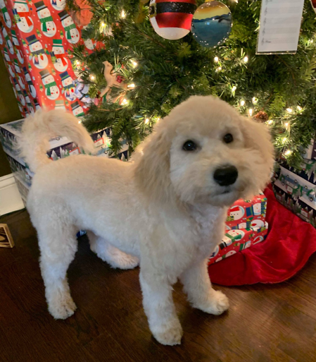 Doodle Puppy Standing Next to Christmas Tree